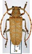 Cerosterna scabrator ♀, Monochamini, India