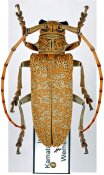 Cerosterna scabrator, ♀, Lamiini, Karnataka