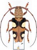 Cereopsius helena ♀, Monochamini, Borneo