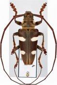 Cereopsius sexmaculatus ♂, Monochamini, Borneo