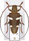 Cereopsius sexmaculatus, ♀, Lamiini, Borneo