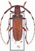 Cribrohammus fragosus, ♀, Lamiini, Yunnan