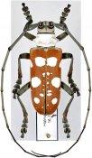 Dolichoprosopus lethalis maculatus, ♂, Lamiini, Halmahera
