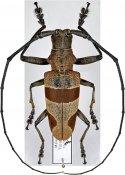 Leprodera elongata, ♂, Lamiini, Malayan Peninsula