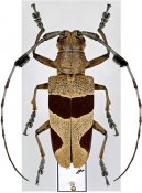 Leprodera elongata, ♀, Lamiini, Malayan Peninsula