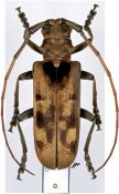 Macrohammus deyrollei, ♀, Lamiini, Cameroon