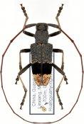 Monochamus latefasciatus, ♂, Lamiini, Guangxi