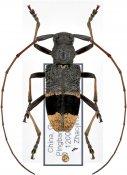 Monochamus latefasciatus, ♀, Lamiini, Guangxi
