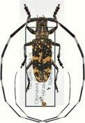 Monochamus maruokai, ♂, Lamiini, Ryukyu