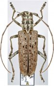Monochamus notatus, ♀, Lamiini, North East United States