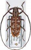 Monochamus obtusus obtusus, ♂, Lamiini, Continental United States