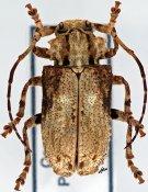 Monoxenus tridentatus ♀, Morimopsini, Cameroon