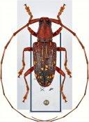 Agnioides striatopunctatus, ♂, Lamiini, Laos