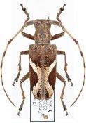 Paraleprodera stephana fasciata, ♀, Monochamini, Yunnan