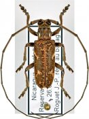 Hammatoderus thoracicus, ♂, Lamiini, Nicaragua
