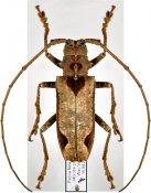 Potemnemus trimaculatus ♀, Monochamini, East New Guinea