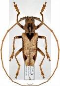Potemnemus trimaculatus, ♂, Monochamini, East New Guinea