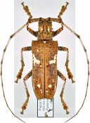 Potemnemus rosenbergii, ♀, Lamiini, Eastern New Guinea