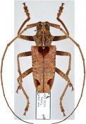 Potemnemus scabrosus, ♂, Lamiini, West New Guinea