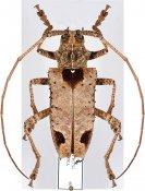 Potemnemus scabrosus, ♀, Lamiini, Geelvink Is.