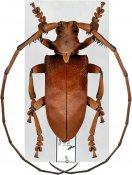 Sarothrocera lowii ♂, Monochamini, Sumatra Is.