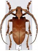 Sarothrocera lowii, ♀, Lamiini, Sumatra Is.