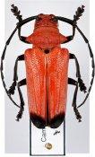 Thermonotus pasteuri ♀, Monochamini, Malayan Peninsula