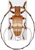 Thestus alexandrae ♂, Monochamini, Malayan Peninsula