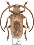 Tympanopalpus dorsalis, ♀, Monochamini, Malayan Peninsula