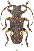 Neopachystola mamillata, ♀, Neopachystolini, Gabon