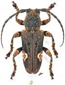 Neopachystola mamillata, ♂, Neopachystolini, Gabon