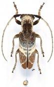 Spodotaenia basicornis, ♀, Neopachystolini, Somalia