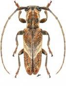 Spodotaenia tanzanicola, ♀, Neopachystolini, Tanzania