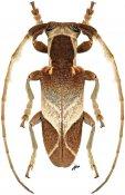Spodotaenia werneri, ♂, Neopachystolini, Kenya