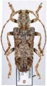 Neopachystola erinacea erinacea, ♂, Neopachystolini, Tanzania