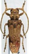 Peleconus junodi, ♀, Neopachystolini, R. D. Congo