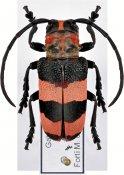 Pseudimalmus fasciatus, ♀, Neopachystolini, Gabon
