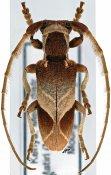 Spodotaenia basicornis ♂, Neopachystolini, Kenya