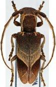 Spodotaenia werneri, ♀, Neopachystolini, Kenya