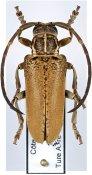 Synhomelix kivuensis, ♂, Neopachystolini, Ivory Coast