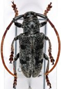 Tragon mimicus tibialis, ♂, Neopachystolini, Cameroon