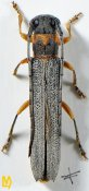 Oberea acuta, ♀, Saperdini, Shaanxi