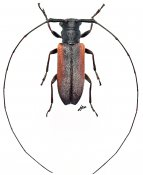 Ocularia grisescens, ♀, Oculariini, Gabon