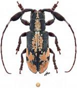 Clavidesmus metallicus, ♂, Onciderini, Peru