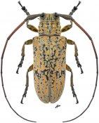 Hesychotypa turbida ♀, Onciderini, Nicaragua