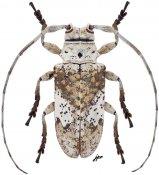 Lochmaeocles nigritarsus, ♀, Onciderini, Quintana Roo