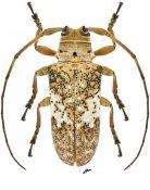 Lochmaeocles sparsus ♀, Onciderini, Nicaragua