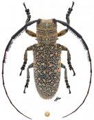 Taricanus truquii, ♀, Onciderini, Guerrero