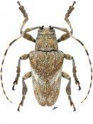 Tulcus pallidus, ♂, Onciderini, Nicaragua