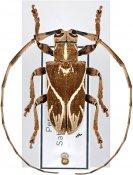 Cicatrodea monima ♂, Onciderini, Peru